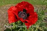 PapavarEmpIndias.jpg