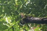 Black-striped Woodcreeper