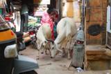 2014078995 Cows in Jaisalmer.JPG