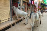2014079009 Cows in Jaisalmer.JPG