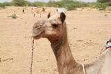 2014079107 Camel Thar Desert.JPG