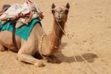 2014079114 Camel Thar Desert.JPG