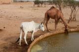2014079138 Cow Camel Thar Desert.JPG
