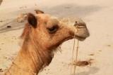 2014079149 Camel Thar Desert.JPG