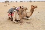 2014079157 Camels Thar Desert.JPG