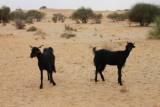 2014079162 Goats Thar Desert.JPG