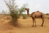 2014079273 Camel Thar Desert.JPG
