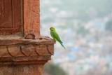 2014079377 Parakeet Jodhpur.JPG