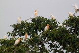 2014079510 Colourful birds Udaipur.JPG