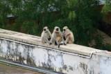 2014079629 Monkeys Jagmandir Island.JPG