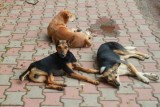 2014080915 Dogs in Candolim Goa.JPG