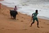 2014080927 Bull Candolim Beach.JPG