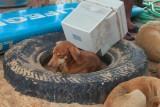 2014080975 Dog Monitor Goa.JPG