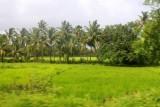2014080993 Paddy fields Goa.JPG