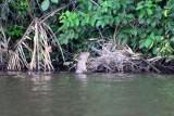 2016034199 Giant Otter Lake Sandoval.jpg