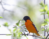 Northern Oriole Baltimore