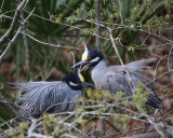 Yellow-crowned Night Heron pair