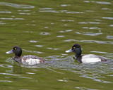 Lesser Scaup duo