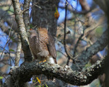 Sharp-shinned Hawk pair