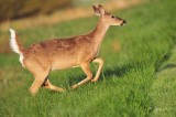 1174  White-tailed Deer  Big Medows NP 05-17-2013.jpg