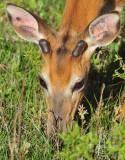 1243   White-tailed Deer  Big Meadows 05-30-13.jpg