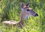 1248   White-tailed Deer  Big Meadows 05-30-13.jpg