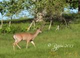 1250   White-tailed Deer  Big Meadows 05-30-13.jpg