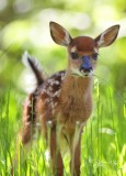 1256 Fawn  barely standing up  Big Meadows 05-30-13.jpg