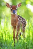 1257 Fawn  barely standing up  Big Meadows 05-30-13.jpg