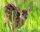 1261  Fawn  barely standing up  Big Meadows 05-30-13.jpg