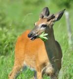 1279   White-tailed Deer   Big Meadows 06-15-13.jpg
