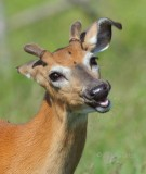 1282   White-tailed Deer   Big Meadows 06-15-13.jpg