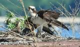 1565  Osprey  Occoquan 06-12-2013.jpg