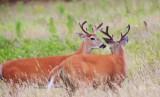 47  White-tailed deer Buck Big Meadows 08-03-13.jpg