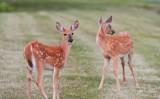 49  White-tailed deer Fawn Big Meadows 08-03-13.jpg