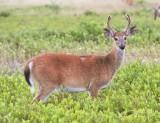 50  White-tailed deer Buck Big Meadows 08-03-13.jpg