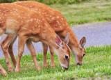 51  White-tailed deer Fawn Big Meadows 08-03-13.jpg