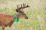 52  White-tailed deer Buck Big Meadows 08-03-13.jpg