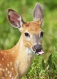 1352    White-tailed Deer  Big Meadows 08-09-13.jpg