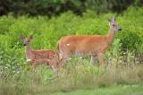 1407   White-tailed Deer    Big Meadows  Va 08-16-13.jpg