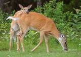 1417   White-tailed Deer    Big Meadows  Va 08-16-13.jpg