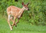 1438    White-tailed Deer Big Meadows  Va 08-16-13.jpg
