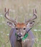 1534  White-tailed Deer  Big Meadows  08-24-2013.jpg