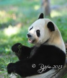 585  Panda Bear  09-20-13.jpg