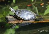 637  Painted Turtle   09-20-13.jpg
