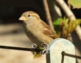 668  Sparrow  09-20-13.jpg