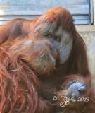681  Orangutan  09-20-13.jpg