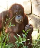 679  Orangutan  09-20-13.jpg