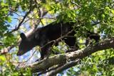 600  Black Bear  Big meadows  Va 09-14-13.jpg