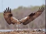 1681  Osprey Occoquan 2014.jpg